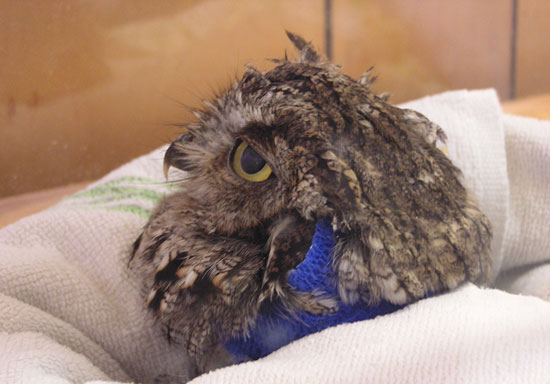 Injured owl in a box