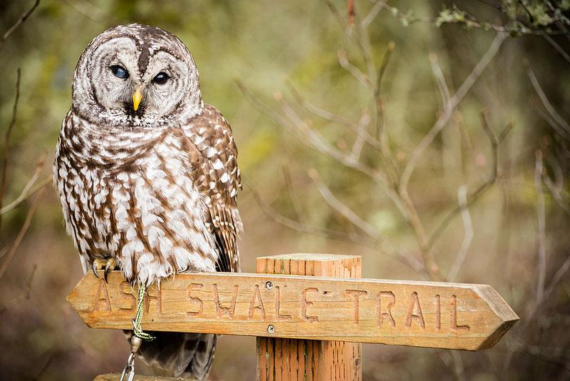 Sparred Owl