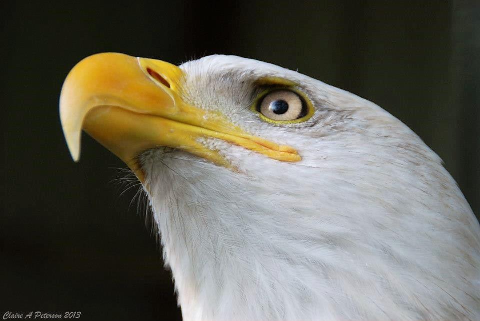 Sparky, Chintimini's Bald Eagle Ambassador