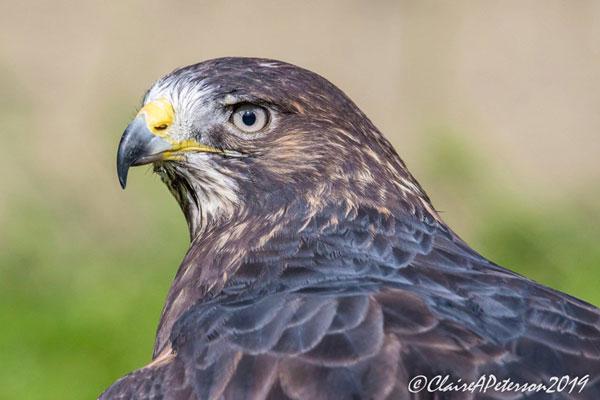 Cricket, a Swainson's Hawk
