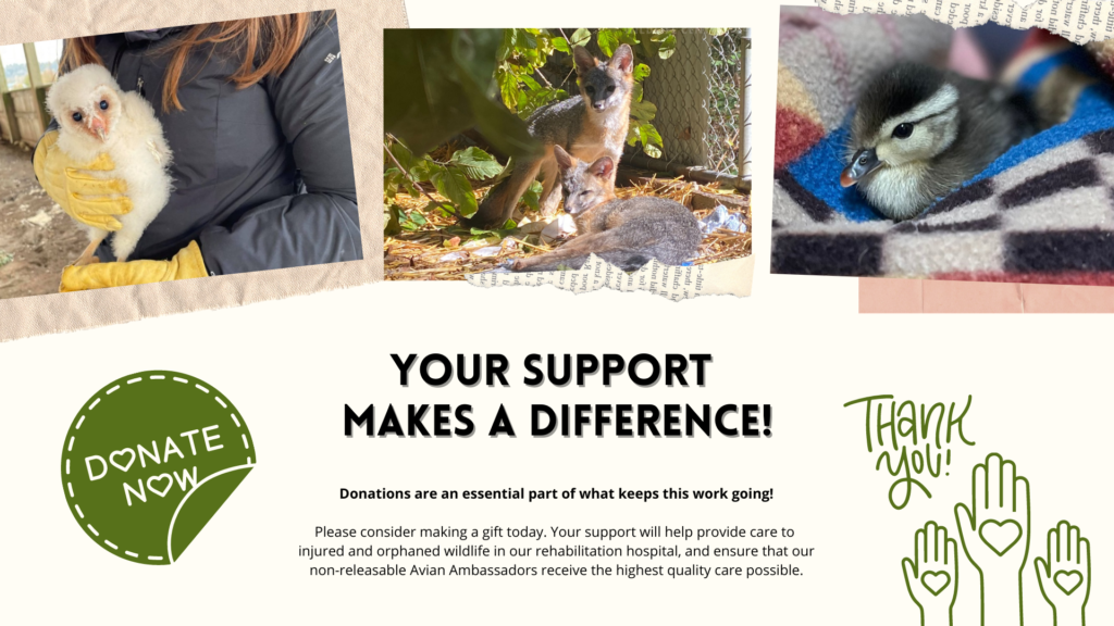 Your support makes a difference! Donations are an essential part of what keeps this work going! Please consider making a gift today. Your support will help provide care to injured and orphaned wildlife in our rehabilitation hospital, and ensure that our non-releasable Avian Ambassadors receive the highest quality care possible.